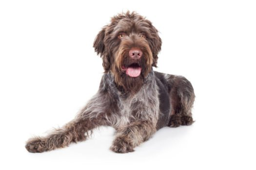 Cute German Wirehaired Pointer puppies for sale