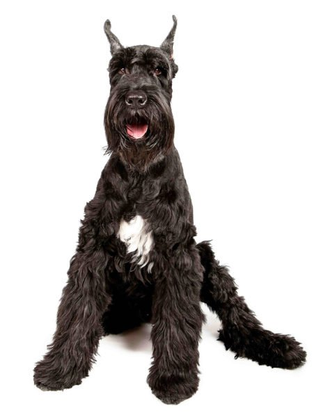 cute Giant Schnauzer Puppies for sale