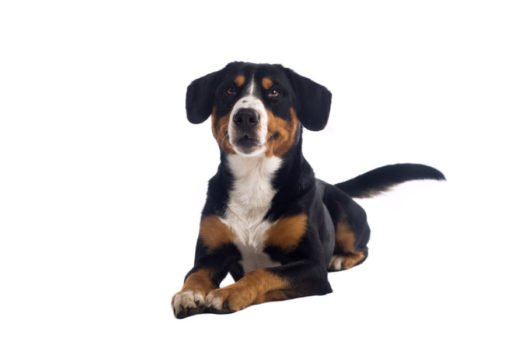 Greater Swiss Mountain Dogs For Sale Use Our Online Puppy