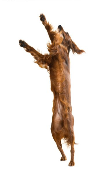cute-Irish Setter Puppies for Sale
