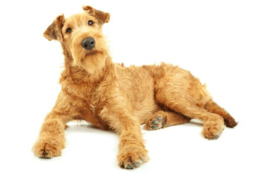 cute Irish Terrier Puppies for sale