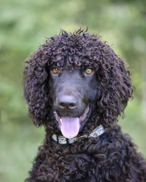 cute Irish Water Spaniel Puppies for sale