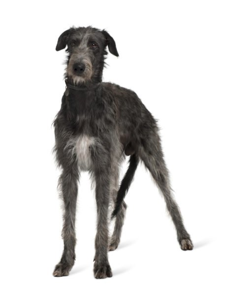 cute Irish Wolfhound puppies for sale