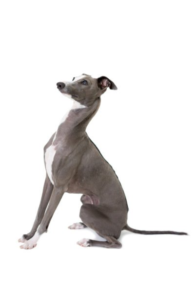 cute Italian Greyhound Puppies for adoption