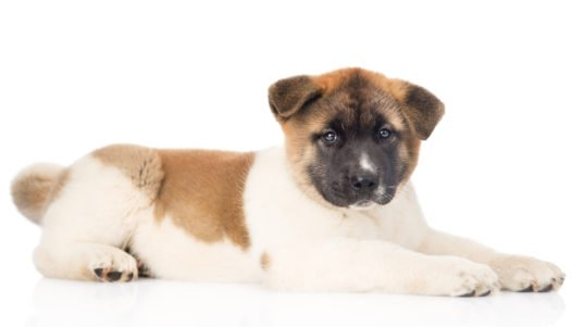 cute Japanese Akita Puppies for sale