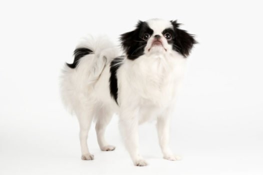 cute Japanese Chin puppies for sale