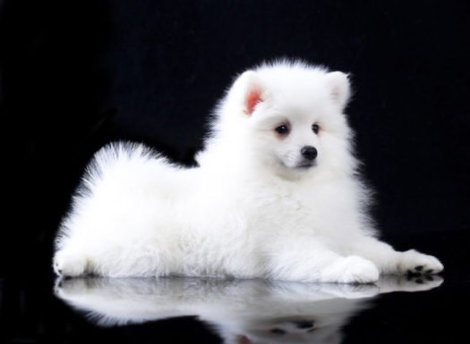 cute Japanese Spitz puppies for sale