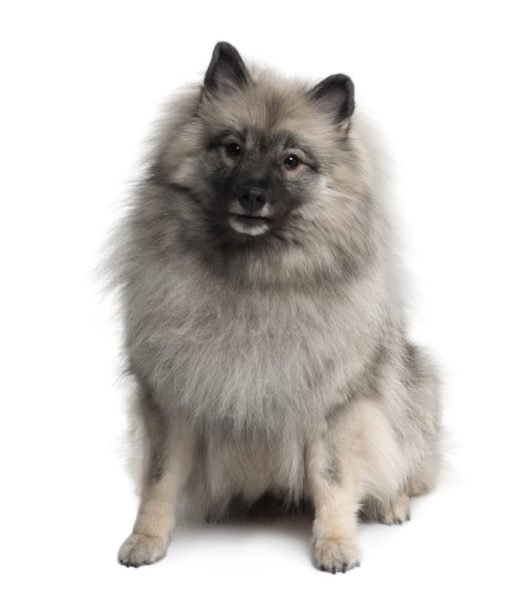 cute Keeshond Puppies for sale