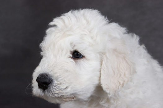 Cute Komondor Puppies for sale