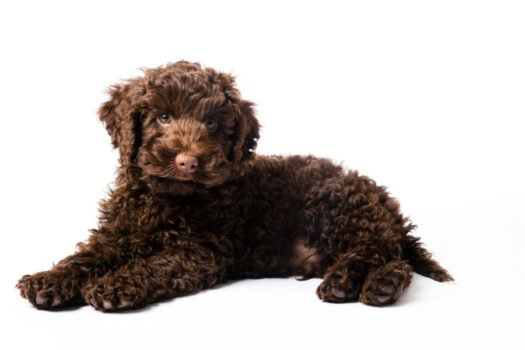 Cute Labradoodle puppies for adoption
