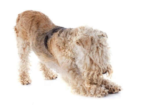 Cute Lakeland Terrier puppies for adoption