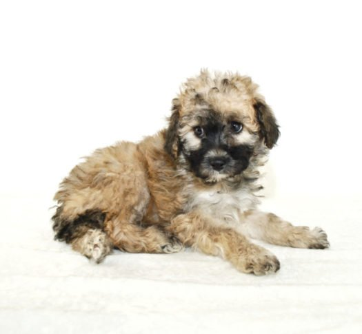 cute Malti Poo puppies for adoption