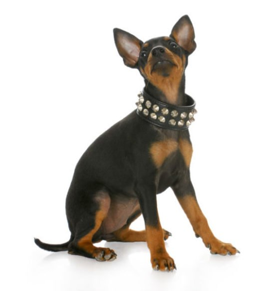 cue manchester terrier puppies for sale