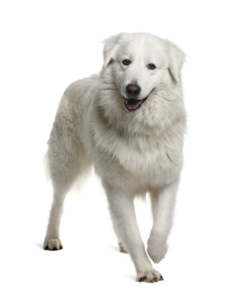 cute maremma sheepdog puppies for adoption