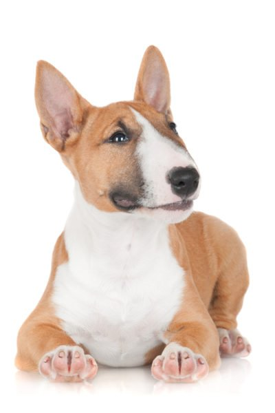 cute miniature bull terrier puppies for sale