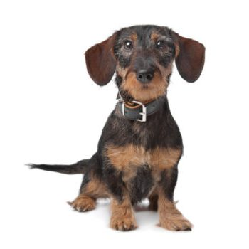 cute miniature dachshund puppies for sale