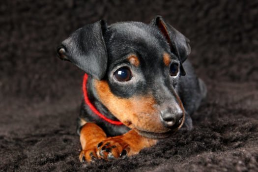 cute miniature pinscher puppies for sale