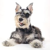 cute miniature schnauzer puppies for sale