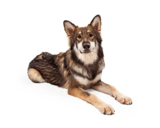 large dog breeds for adoption