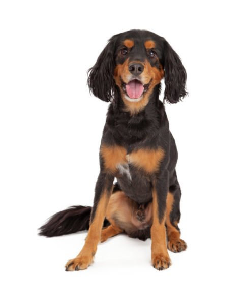 medium dog breeds for sale