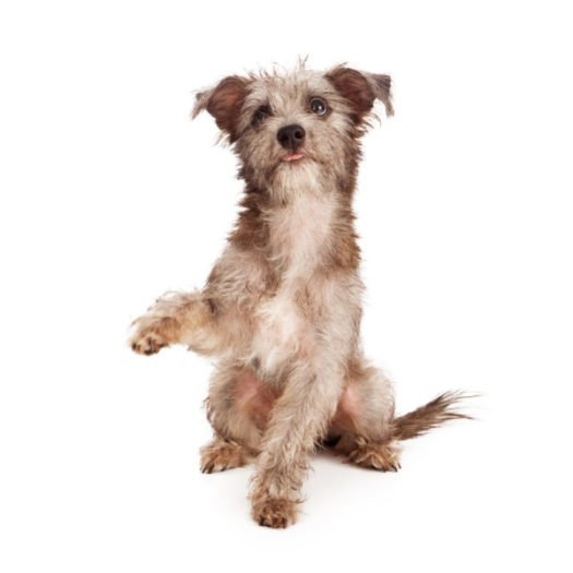 Small Dog Breeds for Sale