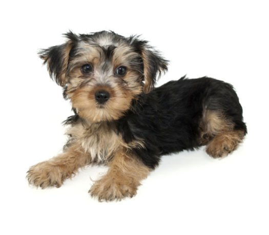 cute Morkie puppies for sale