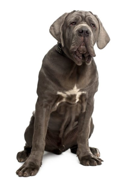 cute neapolitan mastiff puppies for sale