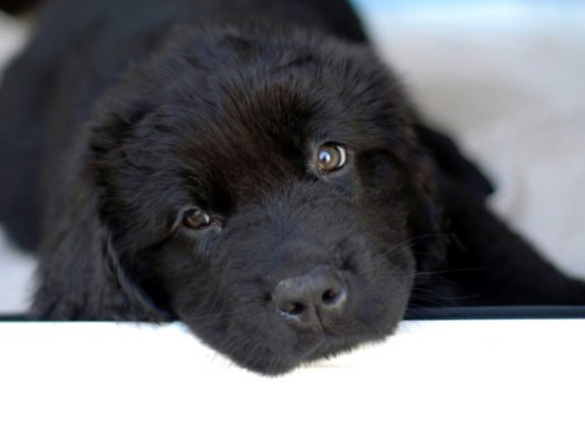 cute Newfoundland puppies for sale