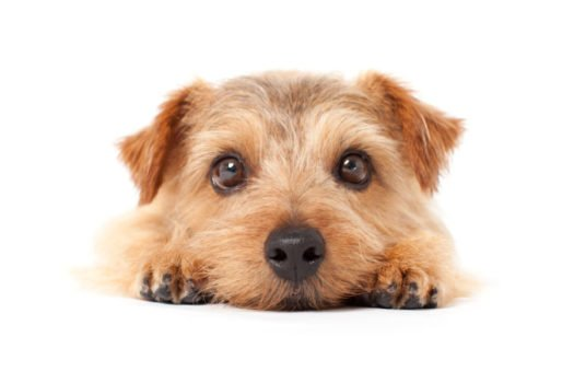 cute norfolk terrier puppies for sale