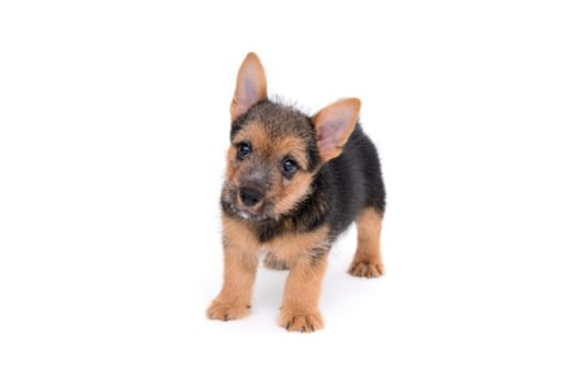 cute norwich terrier puppies for sale
