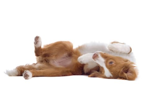 cute nova Scotia duck tolling retriever puppies for sale