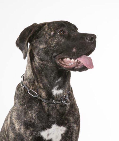 cute perro de presa canario puppies for sale