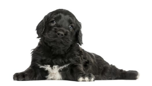 cute portuguese water dog puppies for sale