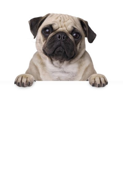 Pug Puppies for Sale (Cute, Smart, & Healthy) | VIP Puppies