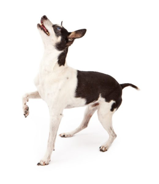 cute rat terrier puppies for sale