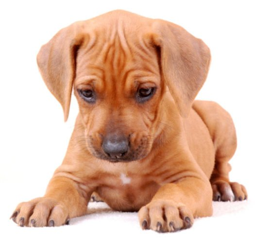 cute rhodesian ridgeback puppies for sale