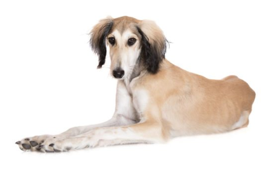 cute saluki puppies for sale