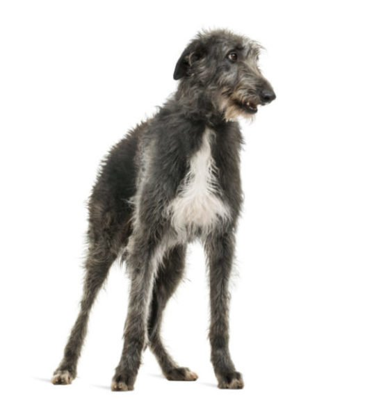 cute scottish deerhound puppies for sale