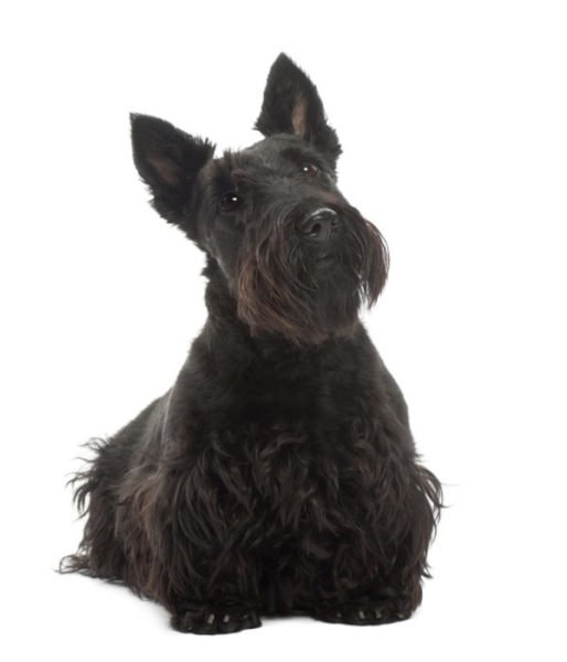 Scottish Terriers For Adoption Scottish Terrier Puppies For Adoption Vip Puppies