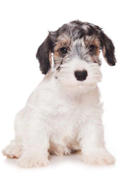 Sealyham Terriers for Sale - Adopt Sealyham Terrier ...