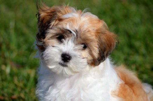 cute shichon puppies for adoption
