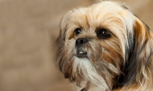 cute shorkie tzu puppies for sale