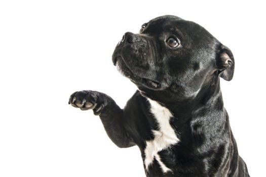 cute Staffordshire-Bull-Terrier puppies for sale