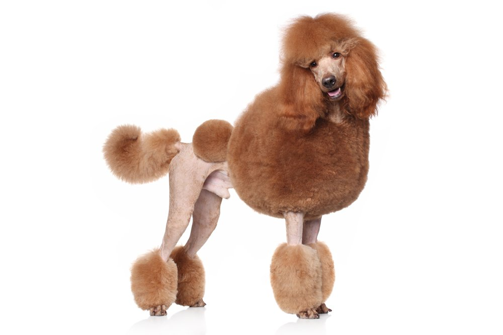 Standard Poodle Shop For Purebred Puppies Online Vip Puppies