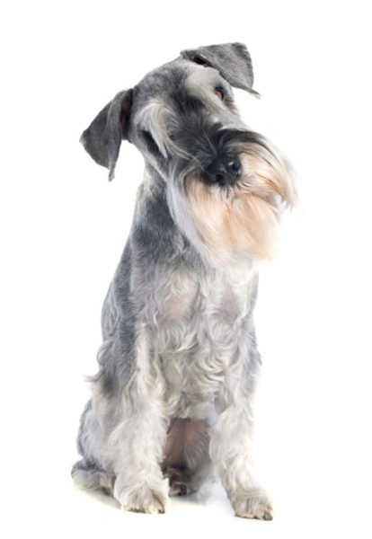 cute standard schnauzer puppies for sale
