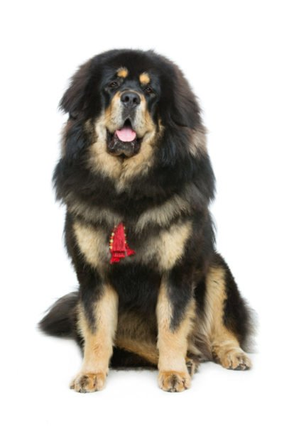 cute tibetan mastiff puppies for sale