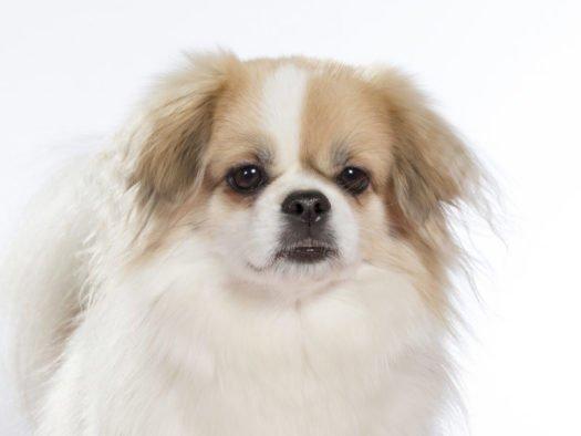 cute tibetan spaniel puppies for sale