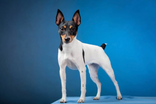 cute toy fox terrier puppies for sale