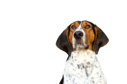 Treeing Walker Coonhounds For Sale Browse Puppies For Adoption