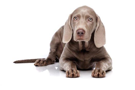 cute weimaraner puppies for sale